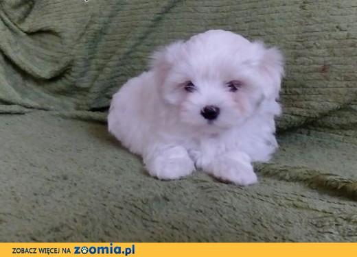 Znane Pies Maltańczyk - ogłoszenia z hodowli. Psy Maltańczyki / Zoomia  #RM-46