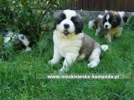 moskiewski pies strózujący