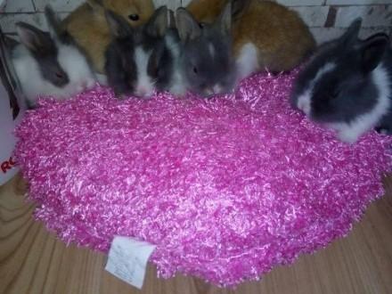 króliki króliczki karzełki teddy   małopolskie Kraków