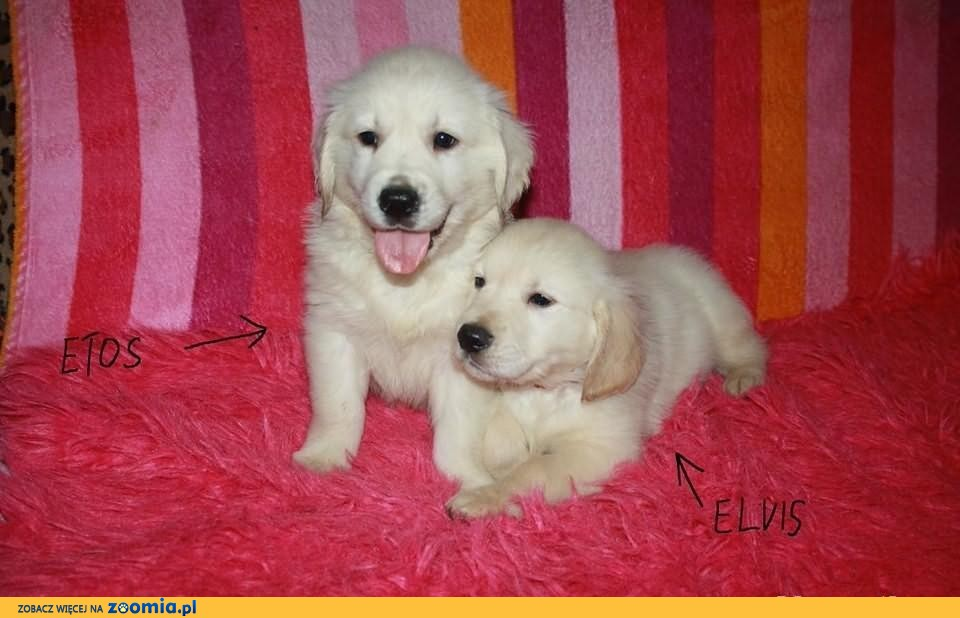 GOLDEN RETRIEVER Goldeny Retrievery  Czip