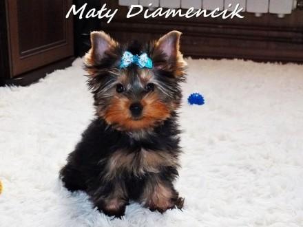 Chłopczyk York Miniaturka Yorkshire Terrier MINI 2 miesiące Rodowód+MikroCzip+Wyprawka Kraj i Zagranica