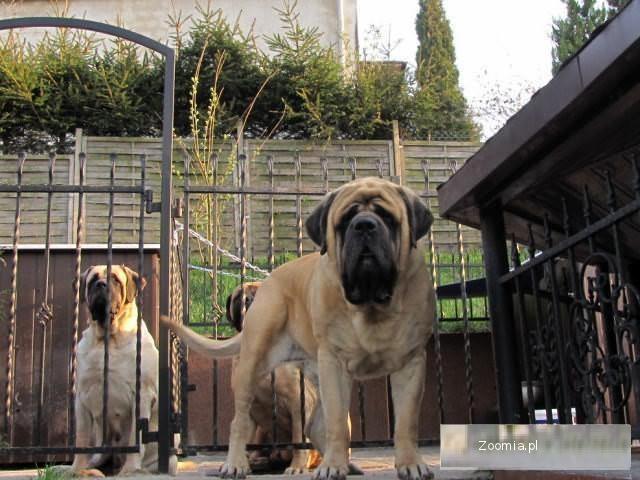 mastiff,mastif,mastif angielski,puppy,puppies,szczeniaki