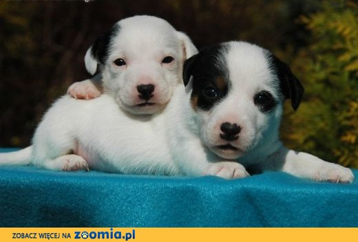Jack Russell Terrier,  małopolskie Kraków