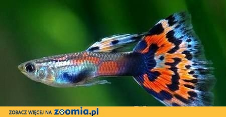 Rybki akwariowe TANIO