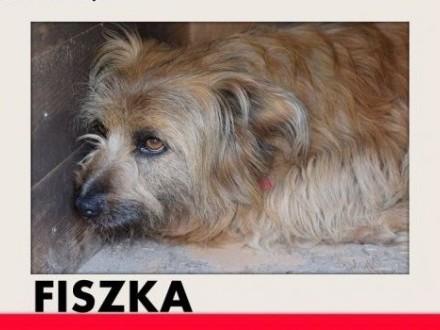 FISZKA łagodna wrażliwa kudłata suczka do domu z ogrodemADOPCJA   dolnośląskie Wrocław
