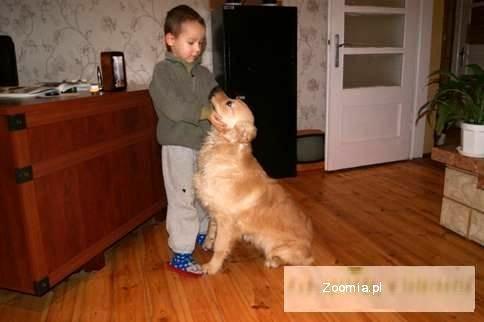 Golden retriever-piesek z rodowodem.
