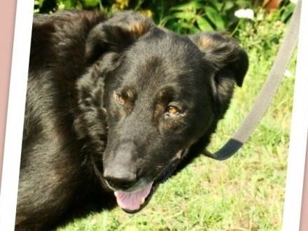 4 lata  30 kg łagodny zrównoważony pies WIESIEK_Adopcja
