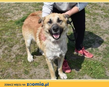 RAMZES mądry kontaktowy duży szczepiony pies po przejściach_Adopcja_