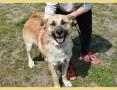 RAMZES,mądry,kontaktowy,duży,szczepiony pies po przejściach_Adopcja_