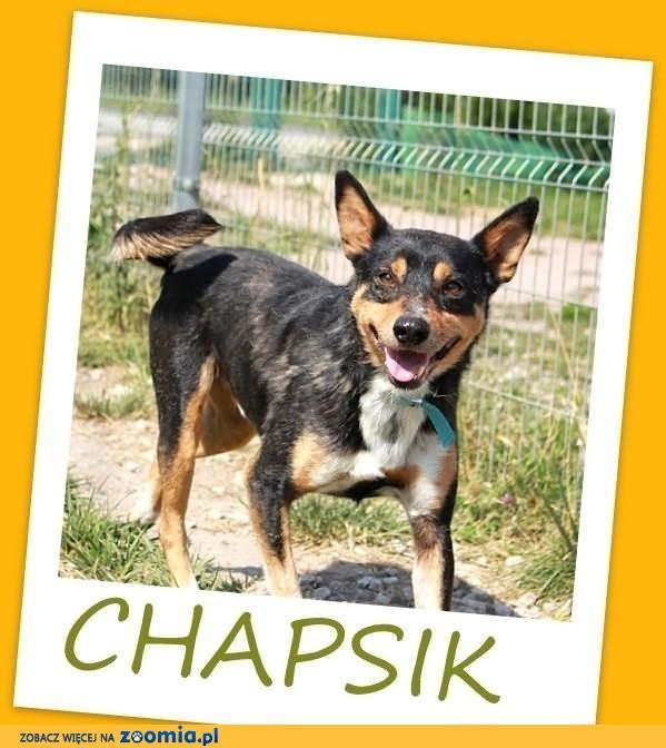 CHAPSIK-średni, energiczny,przyjazny,łagodny,wesoły pies.ADOPCJA
