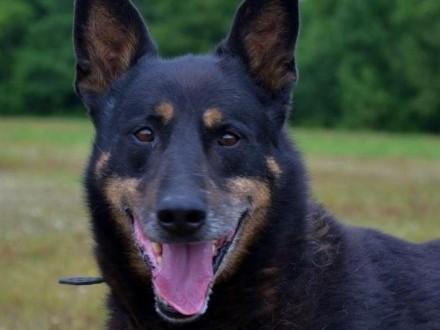 Nero-piękny  duży pies dla odpowiedzialnego opiekuna :)