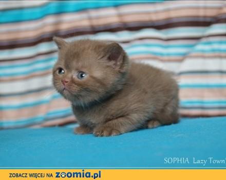Cynamonowa kotka brytyjska kocięta brytyjskie rodowód WCF
