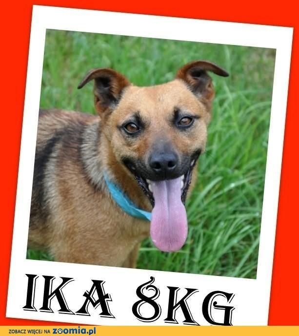 IKA-mała 8kg,przyjazna,przytulaśna suczka do domu z ogródkiem.ADOPCJA