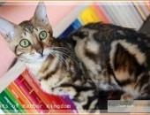 Kocieta bengalskie - juz na poczatku czerwca moga opuscic mame