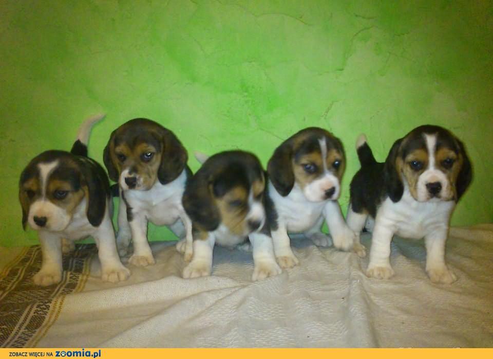 BEAGLE, tricolor, pies, suka, po rodzicach rodowodowych
