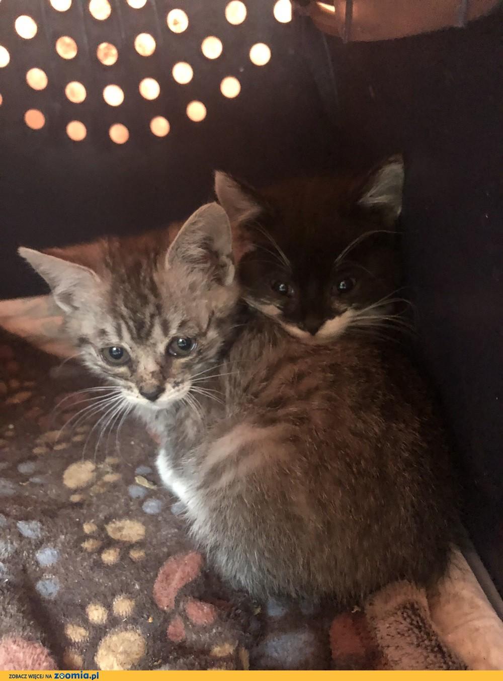 Trzy małe kociaki szukają domów