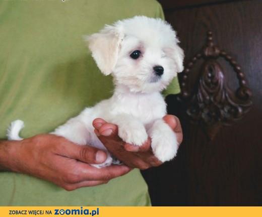 Góra Pies Maltańczyk - ogłoszenia z hodowli. Psy Maltańczyki / Zoomia  NQ-99