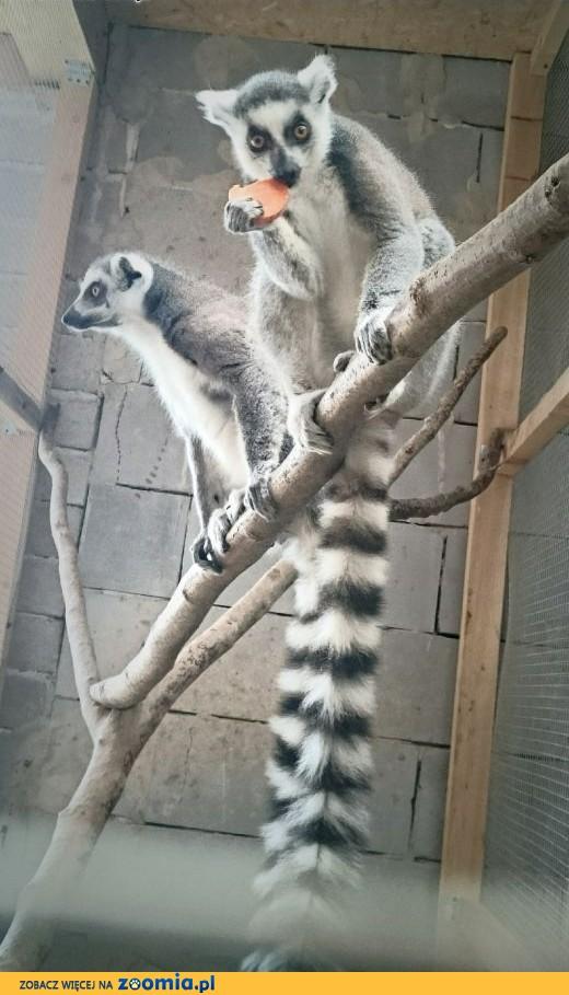 Lemury katta,  wielkopolskie Konin