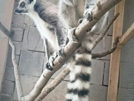Lemury katta   wielkopolskie Konin