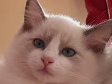 `Mamy uroczego Kociaka ragdoll po Chionie blue bicolor FPL