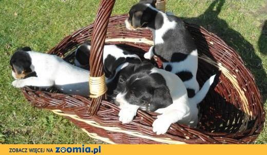 Sprzedam śliczne szczenięta Jack Russel Terrier,  lubelskie Świdnik
