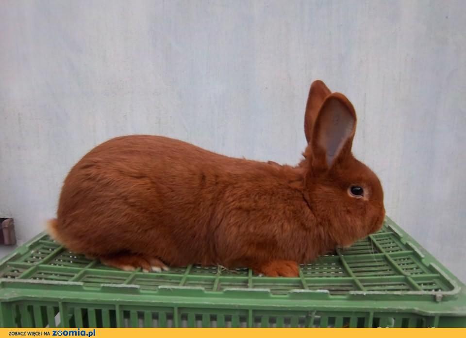 królik króliki nowozelandzkie czerwone samce rodowód
