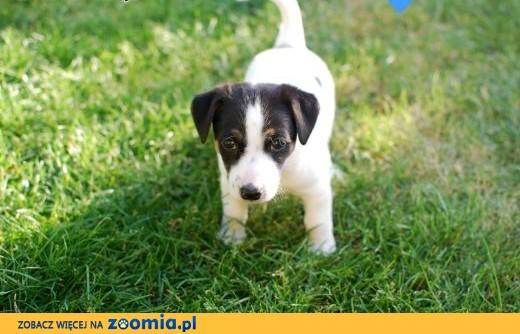Szczenięta Jack Russell Terrier - 3 suczki, 3 samców,  mazowieckie Warszawa