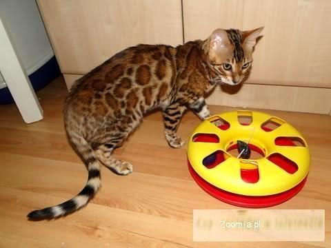 Lampart w domu - kot bengalski