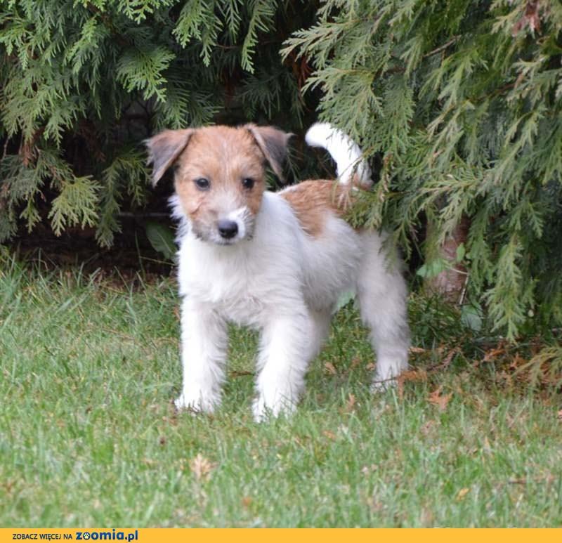 Jack Russell Terrier szczenięta z metryczkami ZKwP już do odbioru