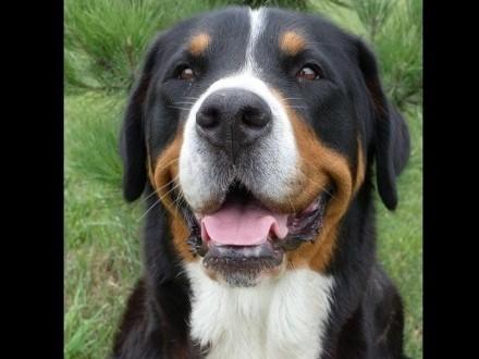 Duży Szwajcarski Pies Pasterski - szczeniaki z rodowodem