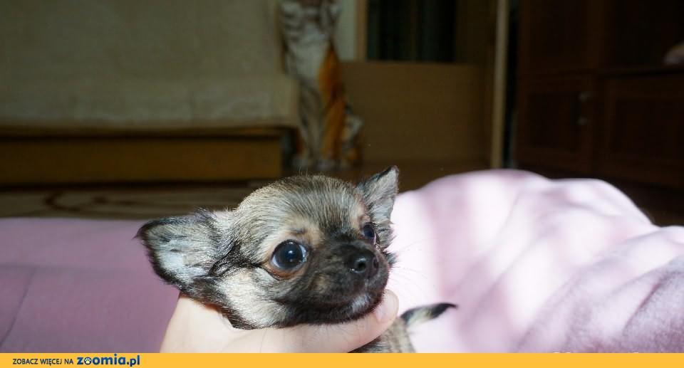 Piesek Chihuahua z rod ZKwP