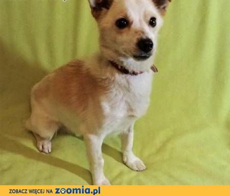 RAMBO - wrażliwy, malutki, 6 kg psiak; szuka domu,  łódzkie Łódź