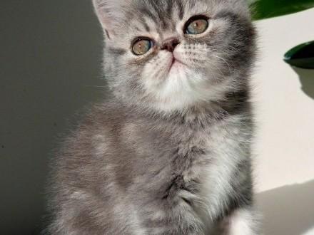 Brytyjskie słodziaki szczęśliwe pogodne kociaki :) 2 kotki zwisłouche