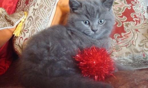 dwie koteczki i jeden kocurek brytyjski- kocięta brytyjskie   mazowieckie Sochaczew