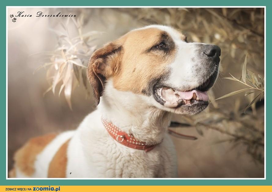 Bernardyn mix, duży 50 kg, 3 letni, kontaktowy,czujny pies HELIOS_Adopcja