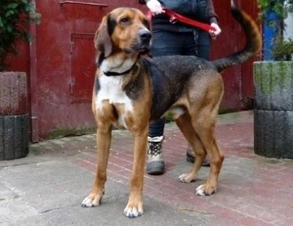 Piękny młody pies w typie ogara polskiego do adopcji
