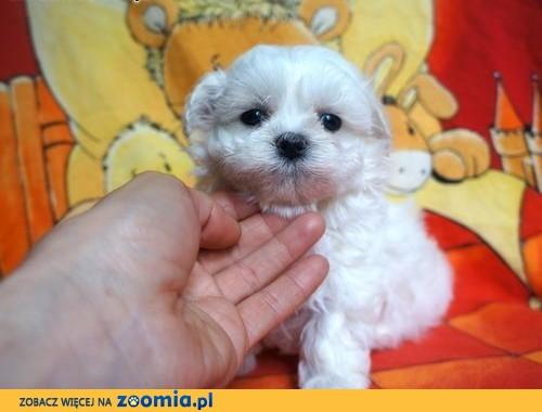 Bardzo Pies Maltańczyk - ogłoszenia z hodowli. Psy Maltańczyki / Zoomia  TN-27