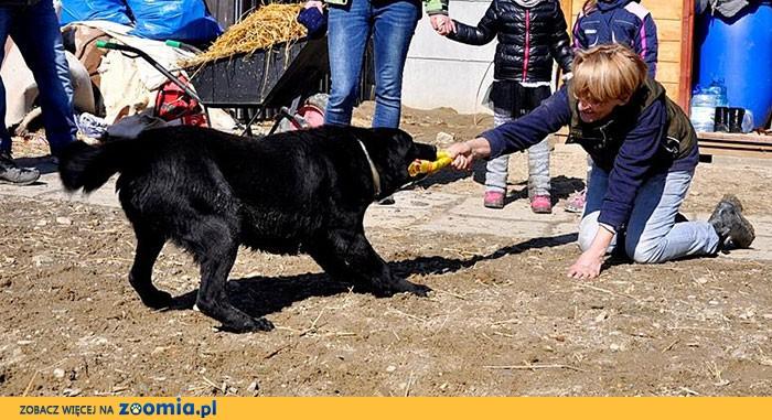 Blackie - labrador, który szuka domu