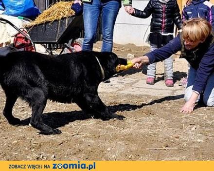 Blackie - labrador  który szuka domu