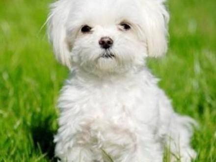 Szukam szczeniaka lub psa do 2 lat rasy maltańczyk!