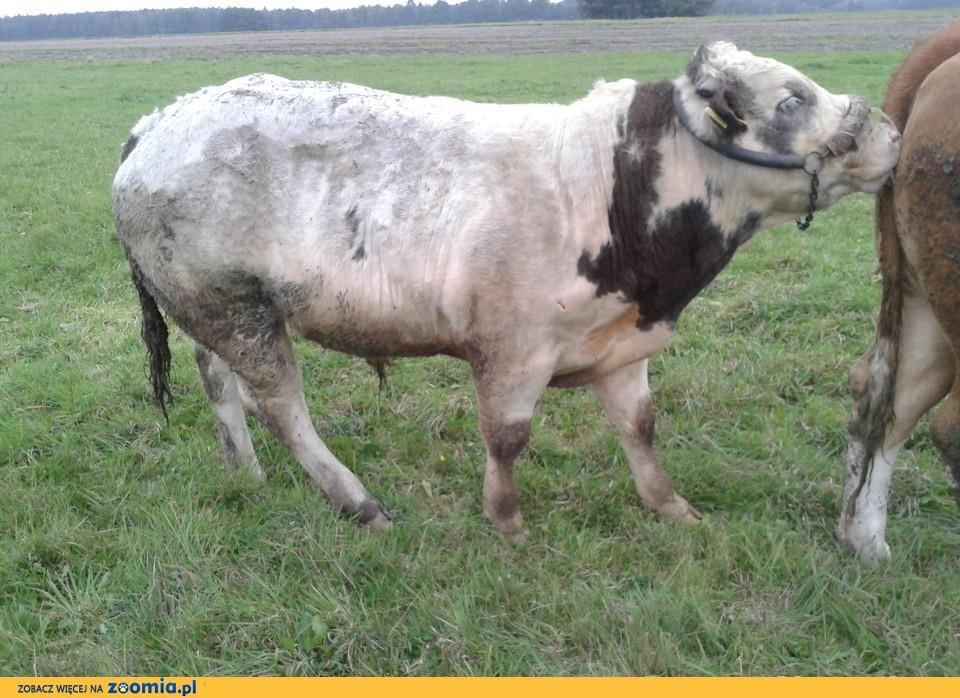 Sprzedam byka bbb belgijsko blekitno- biala
