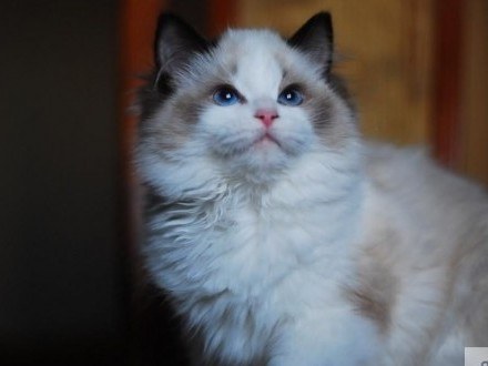 RODOWODOWE KOCIĘTA RAGDOLL Z DOMOWEJ HODOWLI MULAN CAT*PL