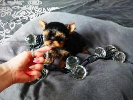 Malutka Całuśna dziewczynka Yorkshire Terrier York