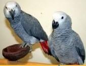 300_5000 Afrykańska szara papuga szuka nowej rodziny
