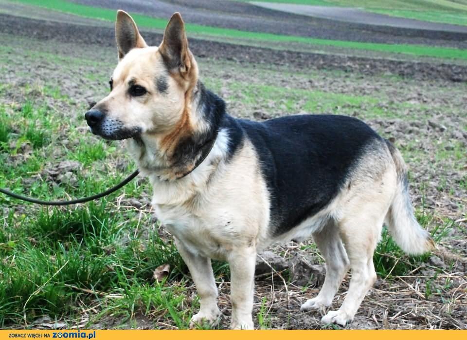 Gutek - spokojny, pogodny, grzeczny pies, adopcja