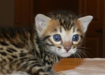 Kocięta Bengalskie Koty Bengalskie
