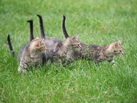 8-tygodniowe kotki do adopcji!   śląskie Częstochowa