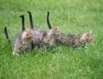 8-tygodniowe kotki do adopcji!,  śląskie Częstochowa