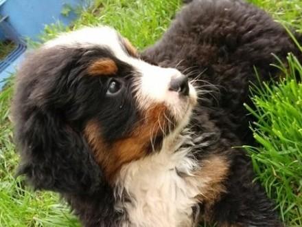 Berneński Pies Pasterski, szczeniaki z rodowodem, mikro chipem