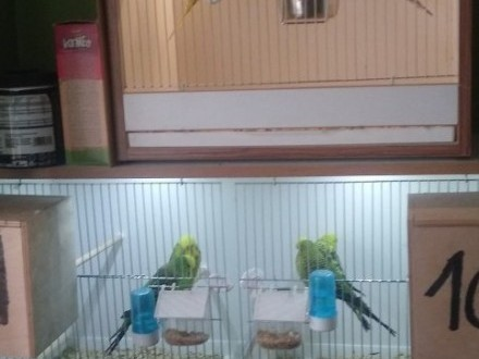 Wyprzedaz ptaki faliste wpf z klatkami okazja